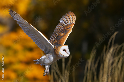 Foto op Plexiglas Uil Barn owl in flight
