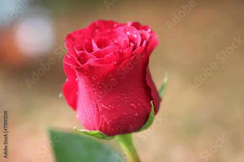 canvas print picture Pink rose with dew drops