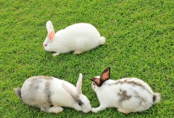 The White Rabbits on garden in Thailand