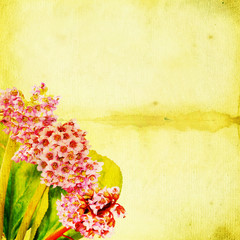 Blossoming Bergenia flowers against green grunge background