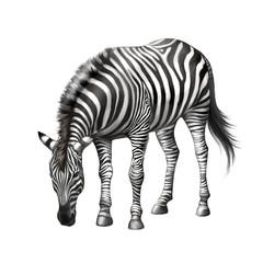 zebra bent down eating grass