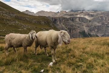 sheep above Val Gardena in Dolomites