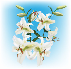 white lily flowers on light blue background