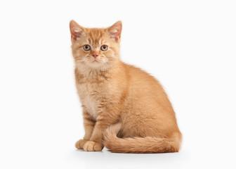 Cat. Small red british kitten on white background