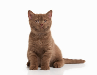Cat. Small cinnamon british kitten on white background