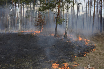 Fire in spring pine forest.