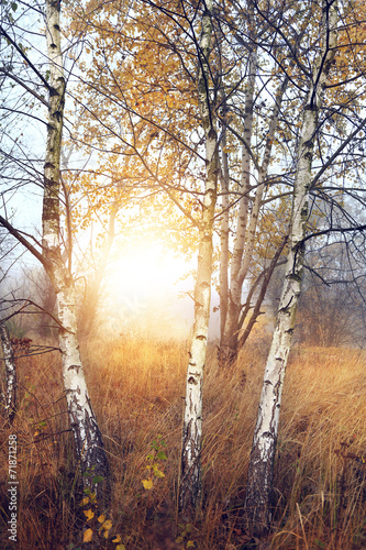 Young birches on the wild misty glade