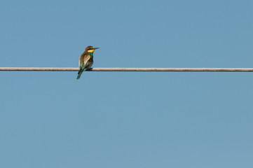 European bee-eater (Merops Apiaster) looking to the right