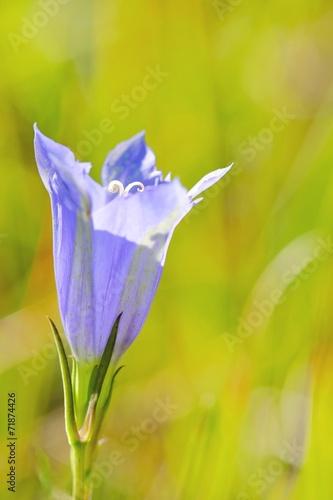 canvas print picture fleur bleue