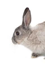 Cute fluffy grey bunny rabbit