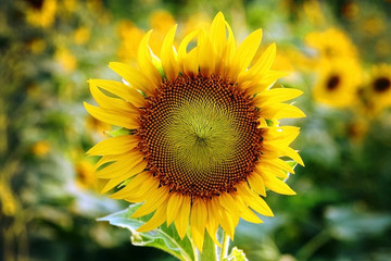 yellow sunflower stands alone with a blurry background on the fe