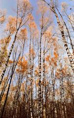 trunks of birch trees in autumn