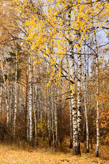 trunks of birch trees in autumn