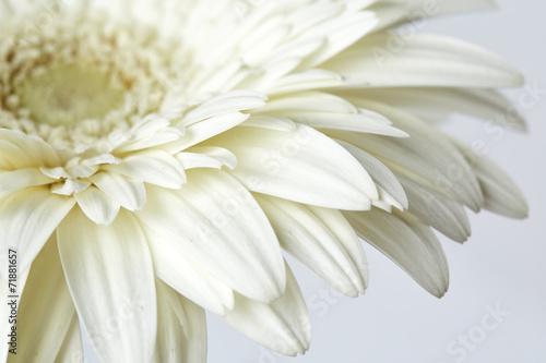 White gerber flower © Nik_Merkulov