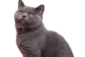Male British Shorthair cat