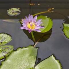 Lotus flowers in water surface