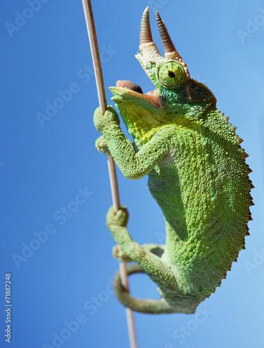 Leinwandbild Motiv Three horned chameleon/trioceros jacksonii