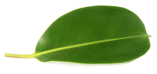 Green leaf of Rubber plant