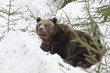 bear brown grizzly portrait in the snow