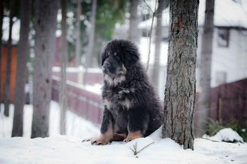Puppy tibetan mastiff in winter, holiday, snow