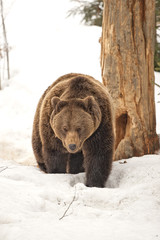 Isolated black bear brown grizzly walking on the snow