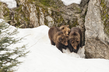 bear brown grizzly family portrait in the snow