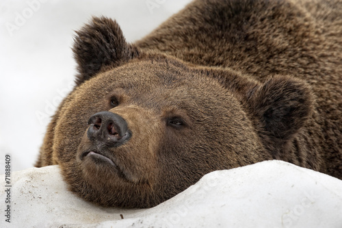 Papiers peints Ours Blanc bear brown grizzly portrait in the snow