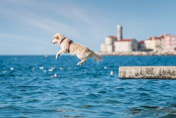 Golden Retriever dog jumping into sea