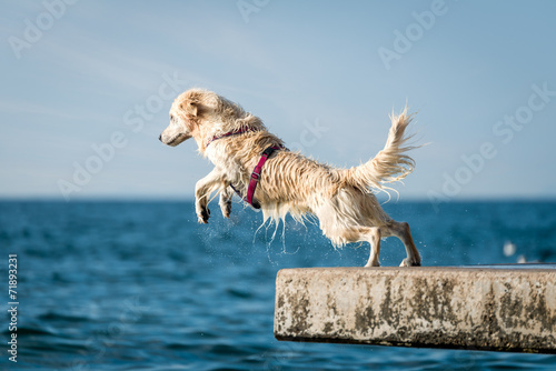 Golden Retriever dog jumping into sea Poster