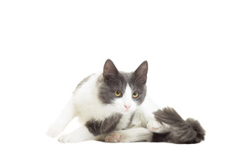 cat getting ready to pounce on a white background isolated