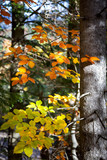 Colorful Leaves with sunbeams in Autumn Forest