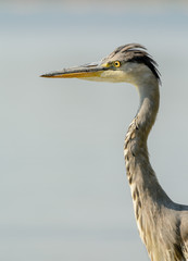 Close up of a Grey Heron (Ardea cinerea)