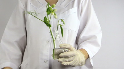 Test of genetically modified plants in laboratory