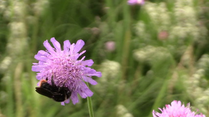 Bumblebee (bombus) collect pollen nectar from pink flower bloom