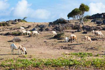 moutons rodriguais