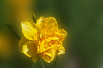 Yellow Narcissus Flower