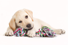"Постер, картина, фотообои ""Labrador puppy biting in a coloured toy"""