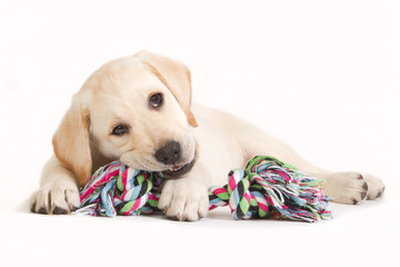Labrador puppy biting in a coloured toy
