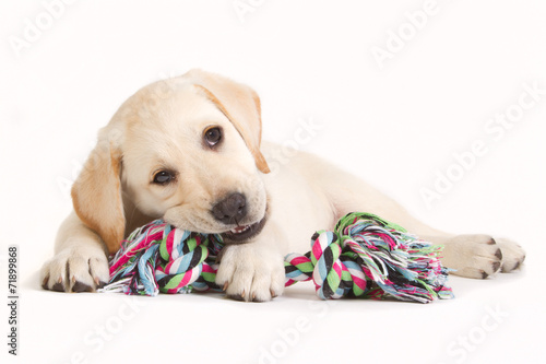 Labrador puppy biting in a coloured toy - 71899868