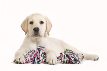 Labrador puppy with coloured toy