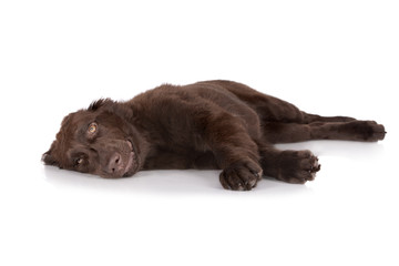chocolate puppy lying down with a smile