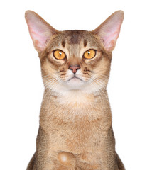 Abyssinian cat portait