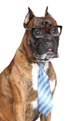 Boxer dog tie and glasses