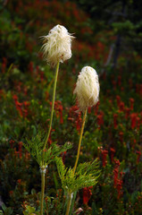 Two beargrass flowers