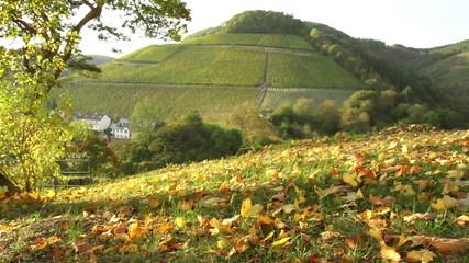 Vineyards of the Moselle Valley. Saarburg.