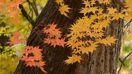 秋の風に揺れる紅葉_7