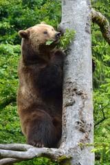 Braunbär (ursus arctos) klettert auf einen Baum.