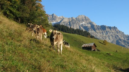 Grazing calves in Glarus