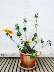 Orange mallow growing in clay pot