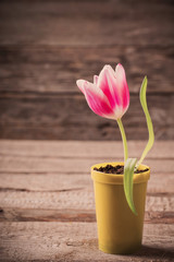 pink tulip in yellow pot on wooden background